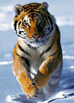 trefl puzzle snow tiger 500 kom - slika